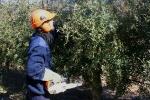 Poda de invierno de los olivos